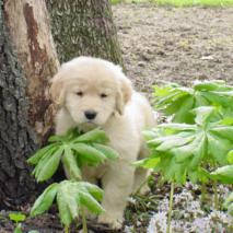 Available - Legend Golden Retrievers, AKC Breeder of Merit