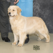 golden retriever breeders michigan